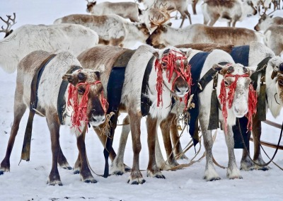 Sacred reindeer decorated with red ribbons, Yamal-Nenets Autonomous Region